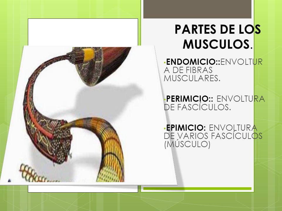 PARTES DE LOS MUSCULOS. ENDOMICIO::ENVOLTURA DE FIBRAS MUSCULARES.