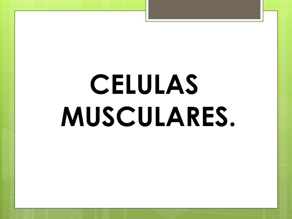 CELULAS MUSCULARES.