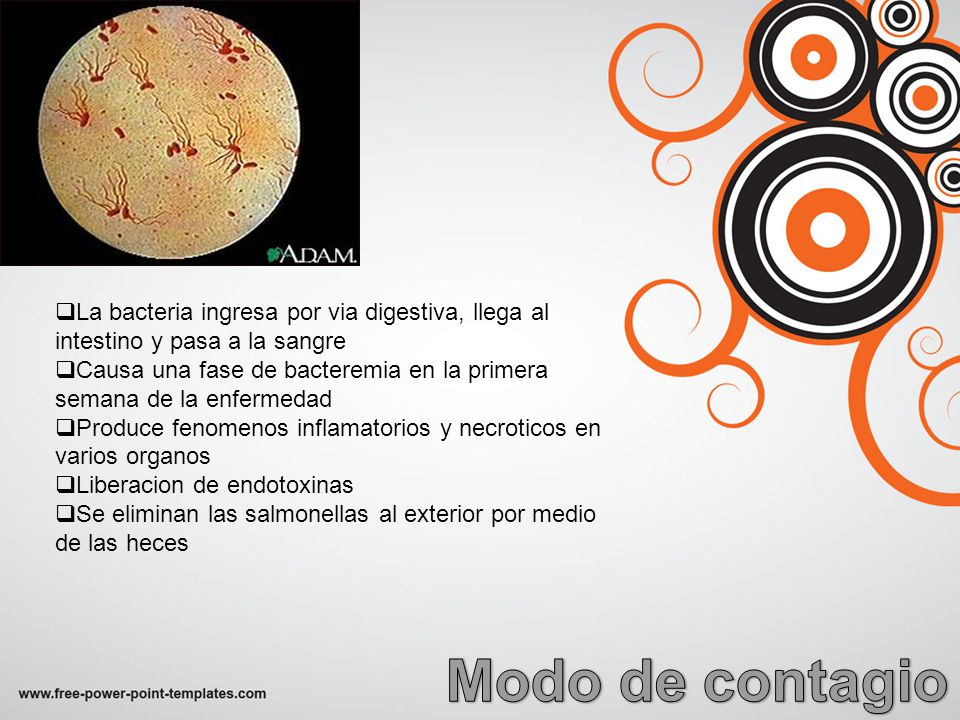 La bacteria ingresa por via digestiva, llega al intestino y pasa a la sangre