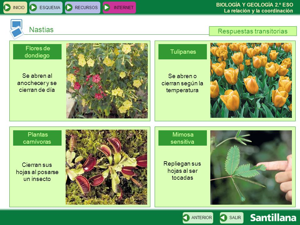 Nastias Respuestas transitorias Flores de dondiego Tulipanes