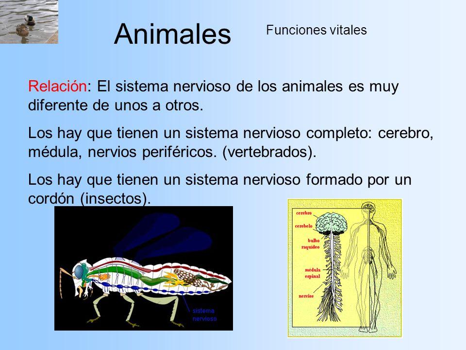 Animales Funciones vitales. Relación: El sistema nervioso de los animales es muy diferente de unos a otros.