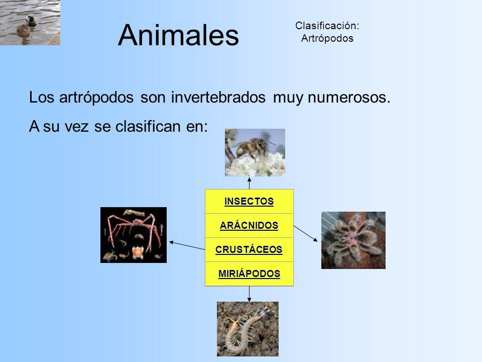 Clasificación: Artrópodos