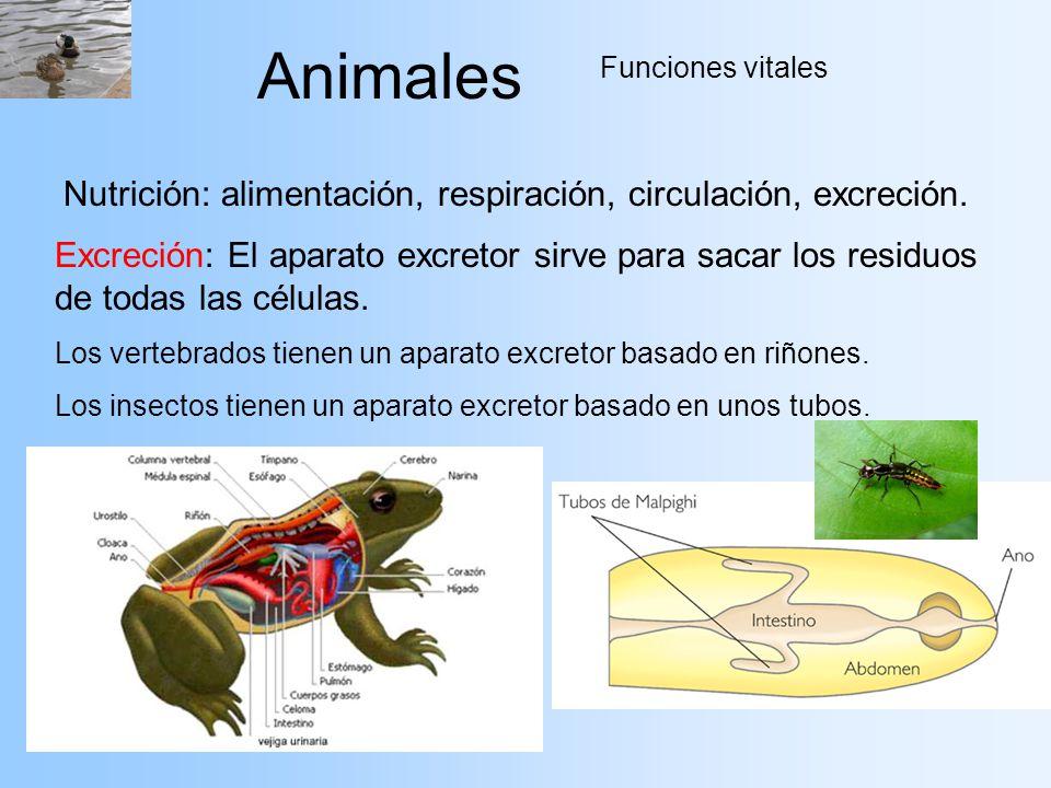 Animales Nutrición: alimentación, respiración, circulación, excreción.