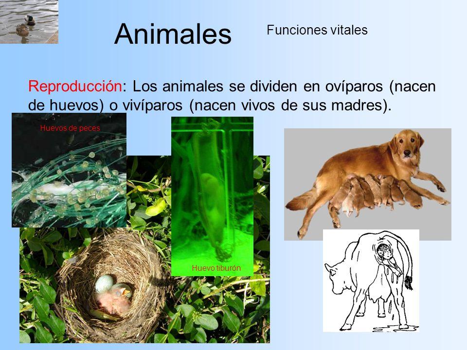 Animales Funciones vitales. Reproducción: Los animales se dividen en ovíparos (nacen de huevos) o vivíparos (nacen vivos de sus madres).