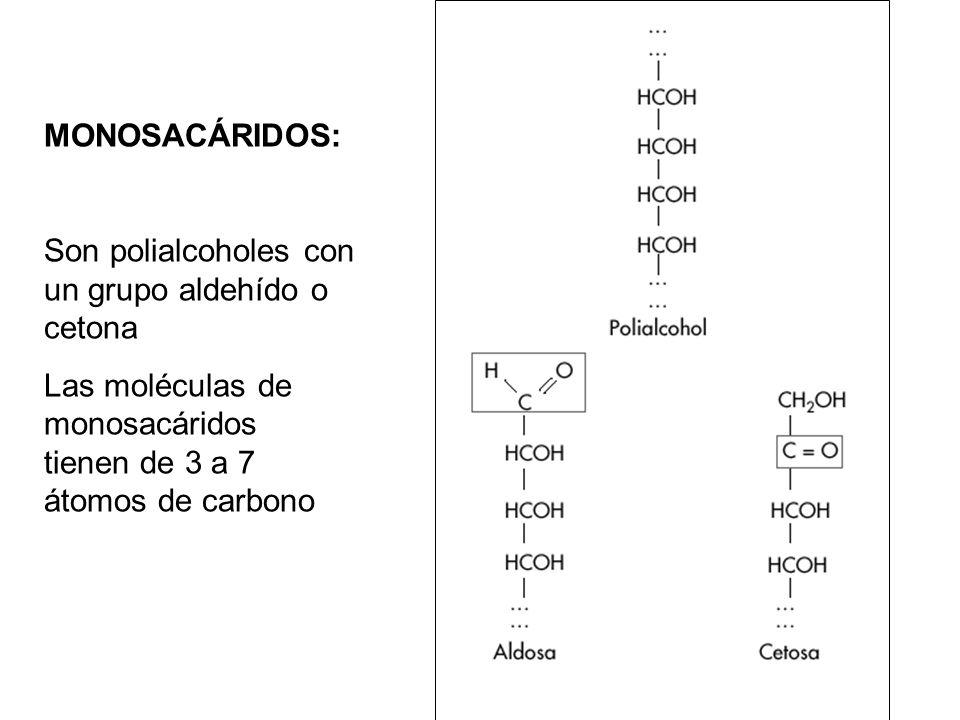 MONOSACÁRIDOS: Son polialcoholes con un grupo aldehído o cetona.