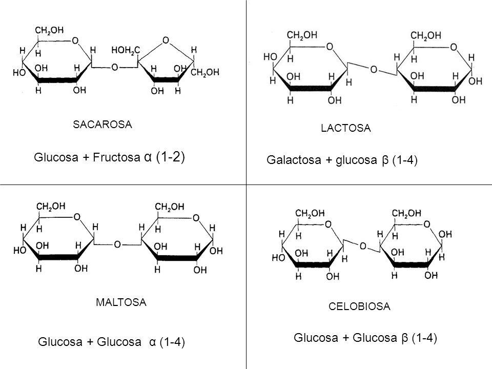 Glucosa + Fructosa α (1-2) Galactosa + glucosa β (1-4)