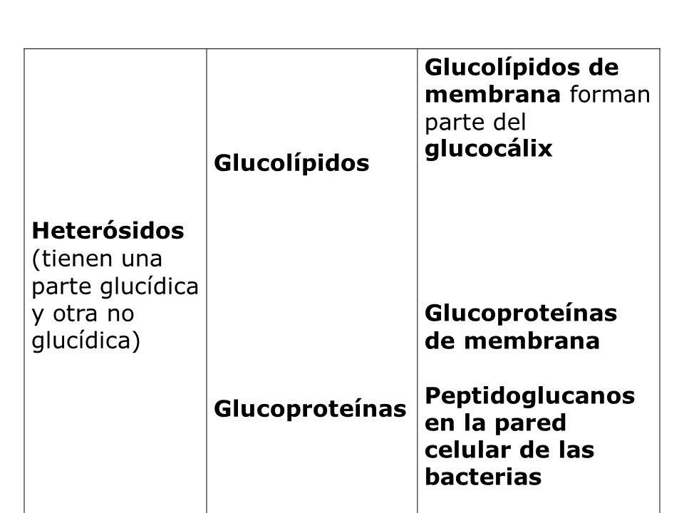 Heterósidos (tienen una parte glucídica y otra no glucídica) Glucolípidos. Glucoproteínas. Glucolípidos de membrana forman parte del glucocálix.