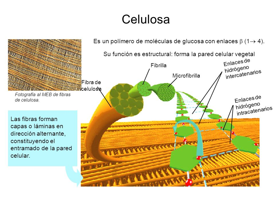 Celulosa Es un polímero de moléculas de glucosa con enlaces  (1 4).