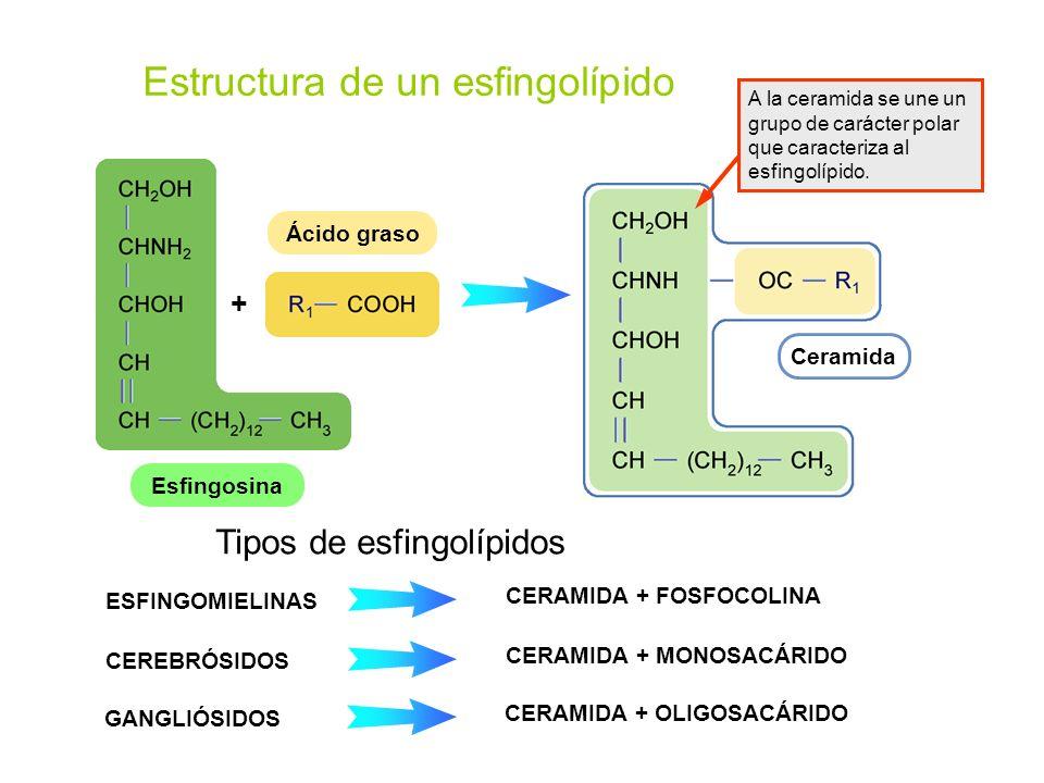 Estructura de un esfingolípido