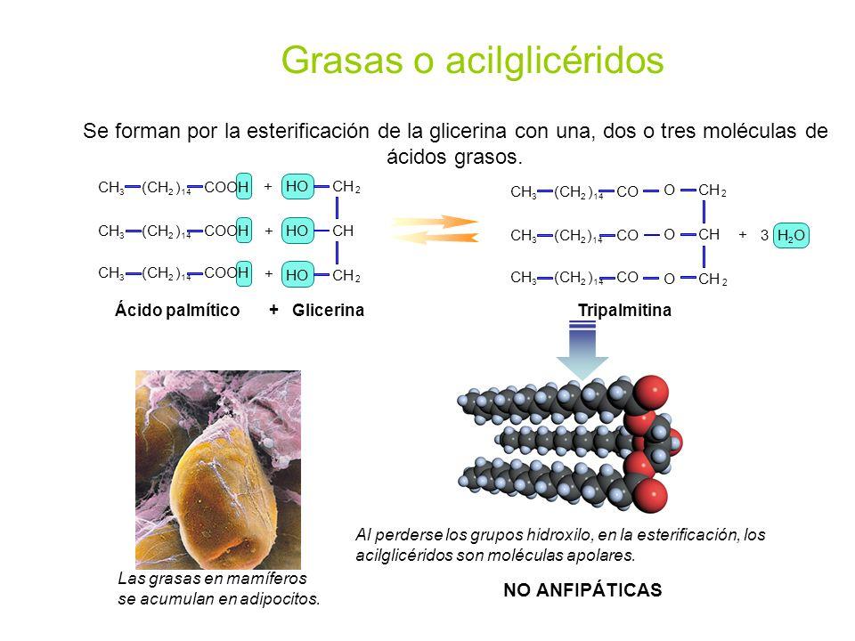 Grasas o acilglicéridos