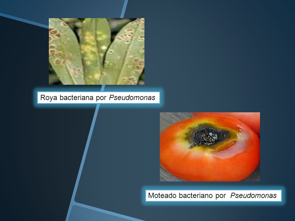Roya bacteriana por Pseudomonas