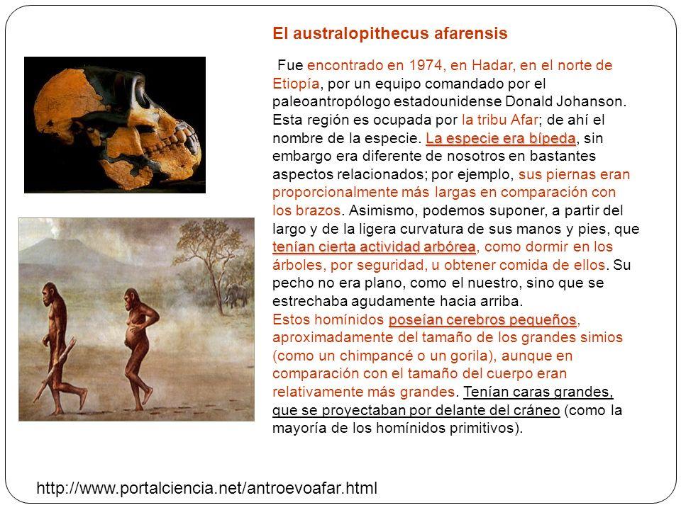 El australopithecus afarensis