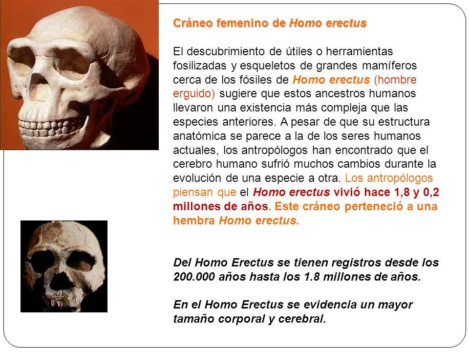 Cráneo femenino de Homo erectus