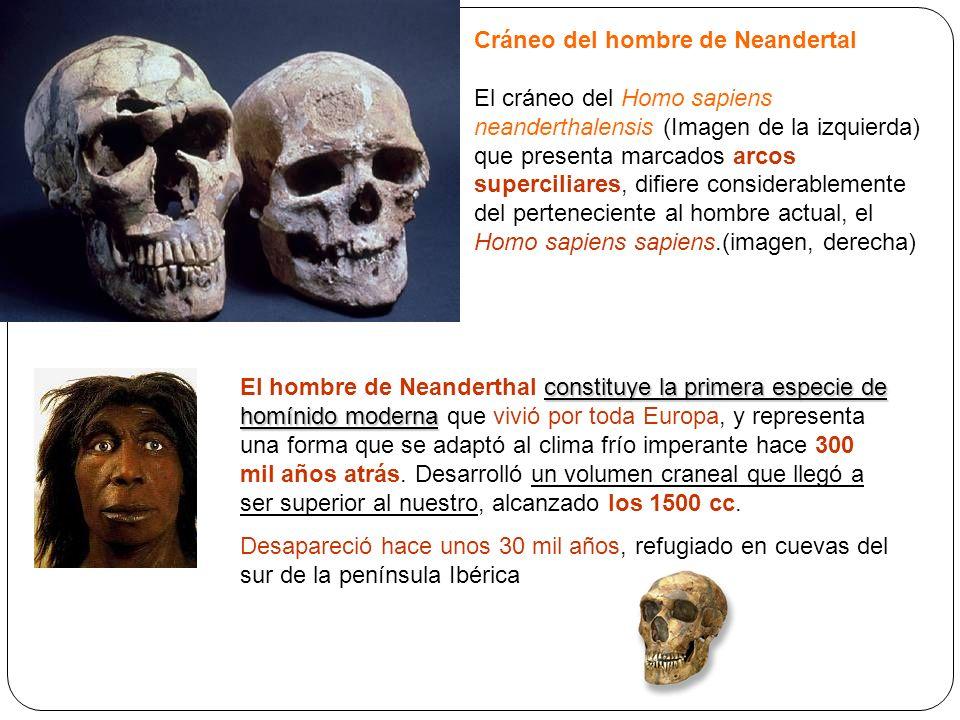 Cráneo del hombre de Neandertal