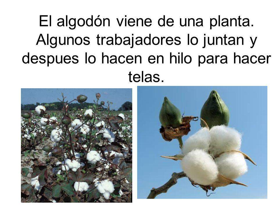 El algodón viene de una planta