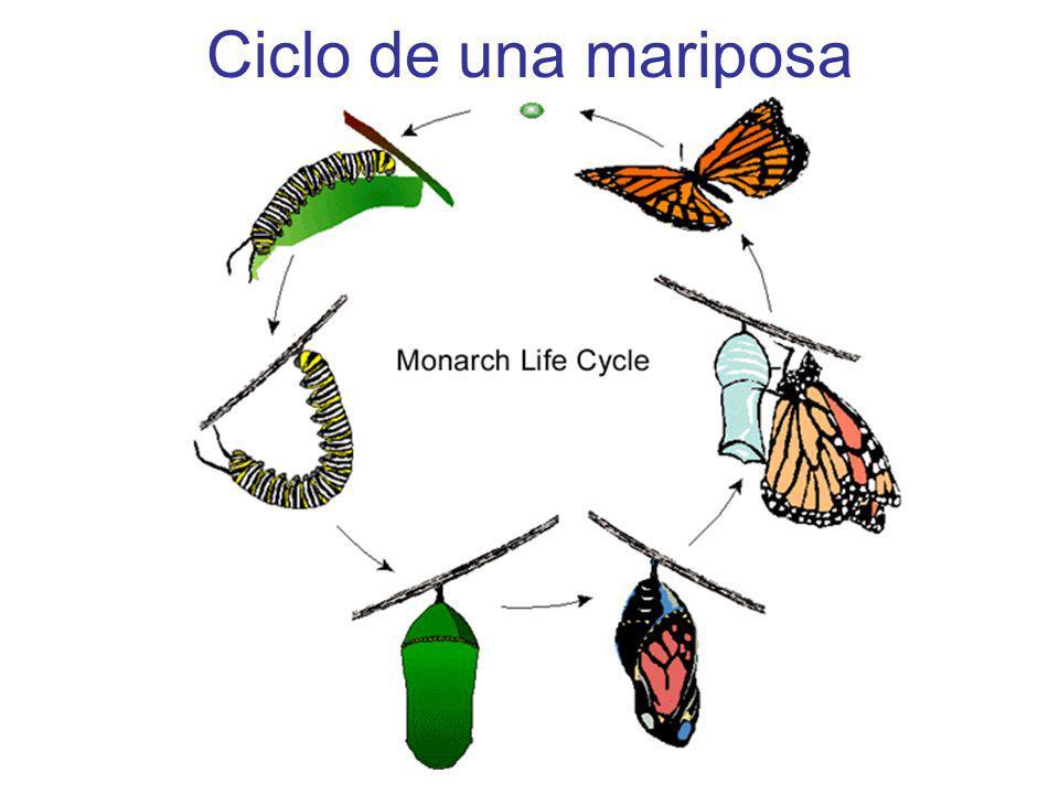 Ciclo de una mariposa