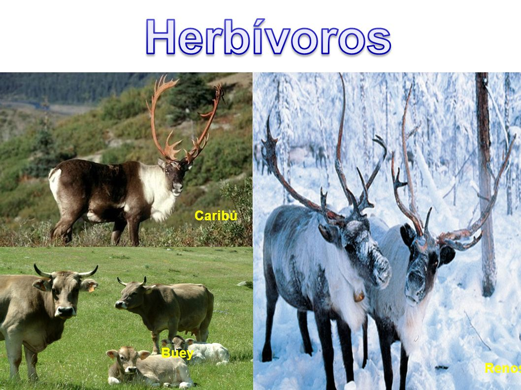Herbívoros Caribú Buey Renos