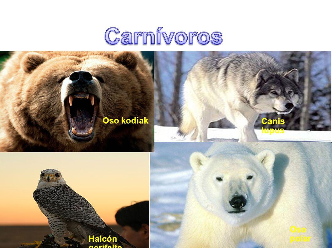 Carnívoros Oso kodiak Canis lupus Oso polar Halcón gerifalte