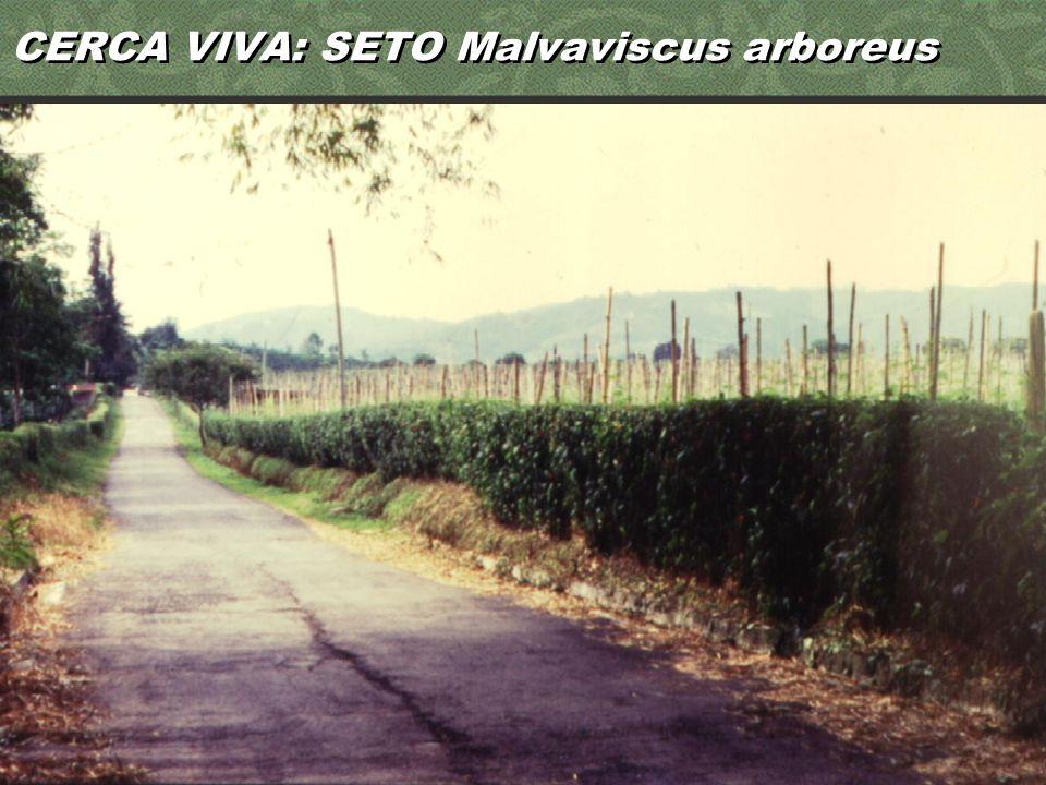 CERCA VIVA: SETO Malvaviscus arboreus