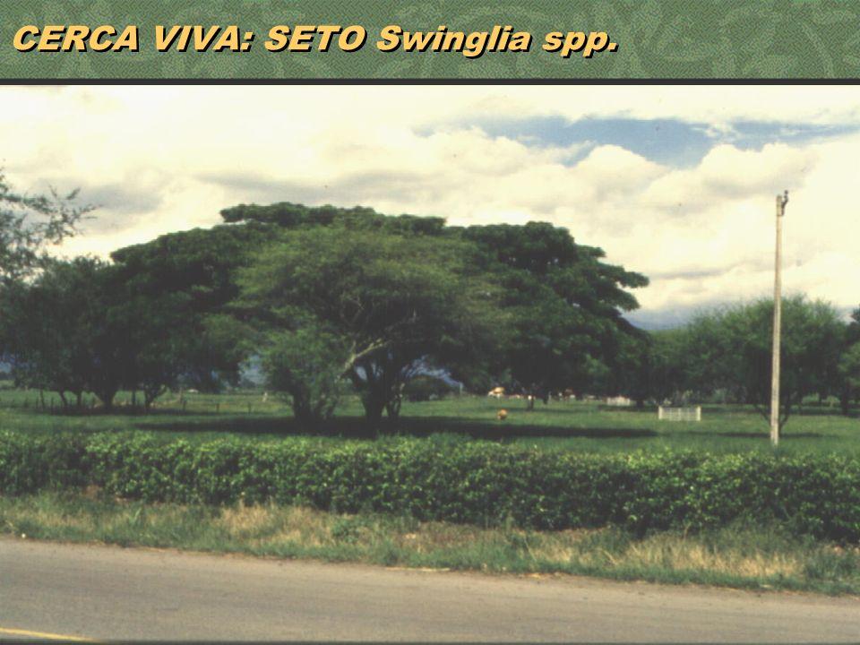CERCA VIVA: SETO Swinglia spp.