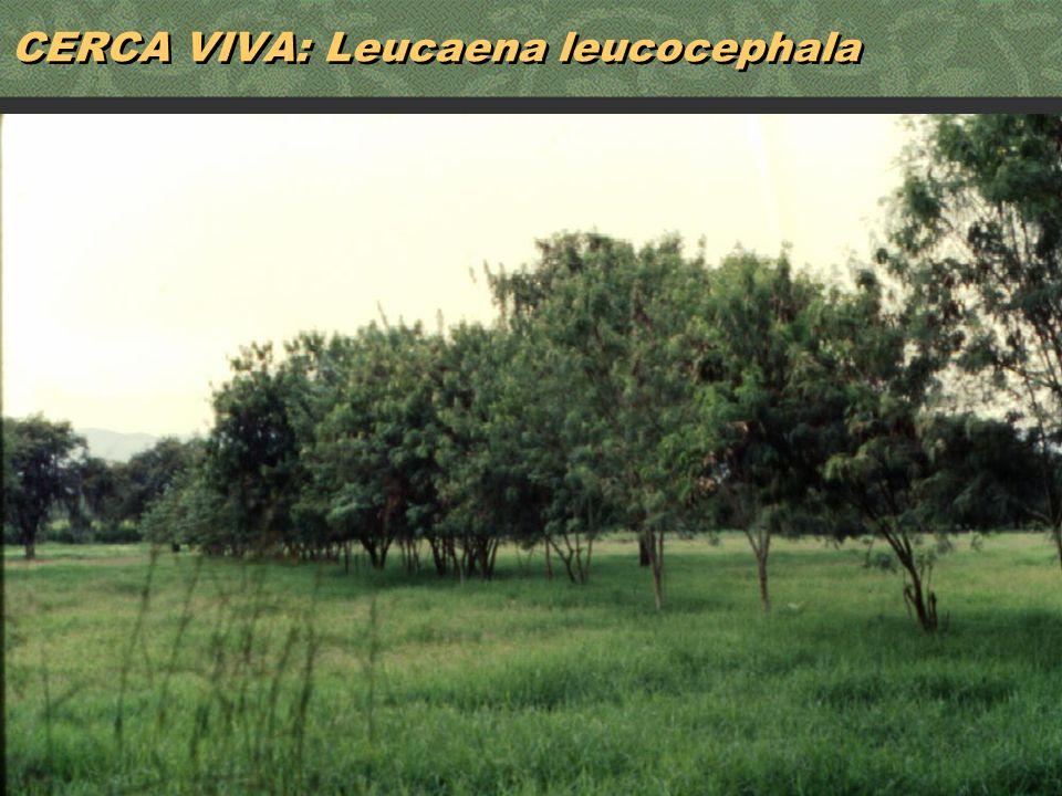 CERCA VIVA: Leucaena leucocephala