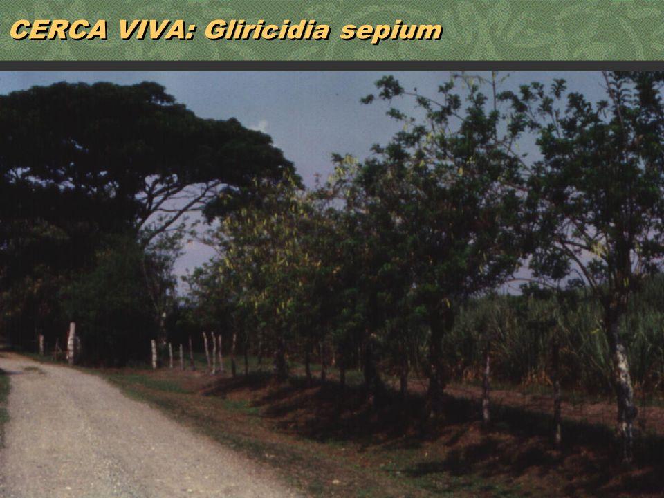 CERCA VIVA: Gliricidia sepium