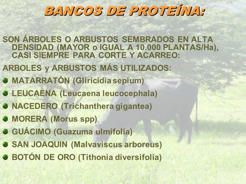 BANCOS DE PROTEÍNA: SON ÁRBOLES O ARBUSTOS SEMBRADOS EN ALTA DENSIDAD (MAYOR o IGUAL A 10.000 PLANTAS/Ha), CASI SIEMPRE PARA CORTE Y ACARREO: