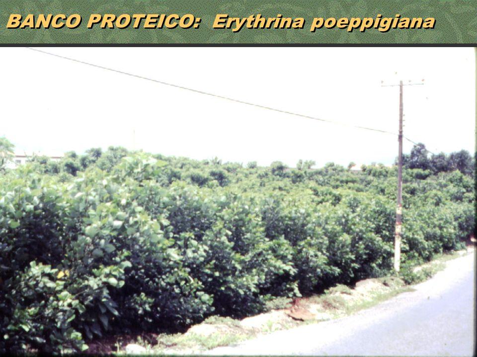 BANCO PROTEICO: Erythrina poeppigiana