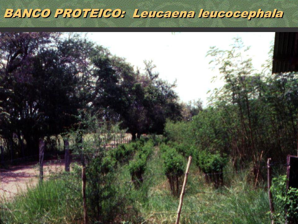 BANCO PROTEICO: Leucaena leucocephala