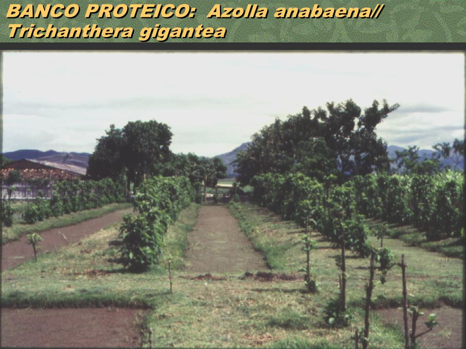 BANCO PROTEICO: Azolla anabaena// Trichanthera gigantea