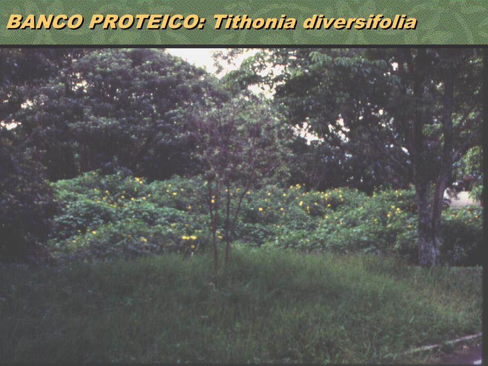 BANCO PROTEICO: Tithonia diversifolia