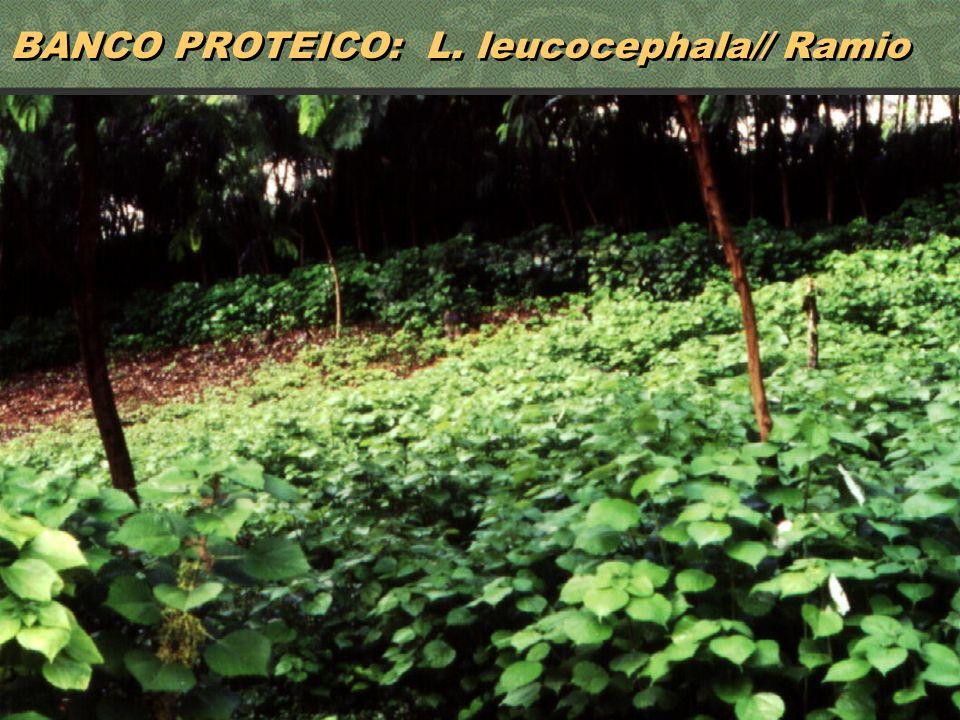 BANCO PROTEICO: L. leucocephala// Ramio