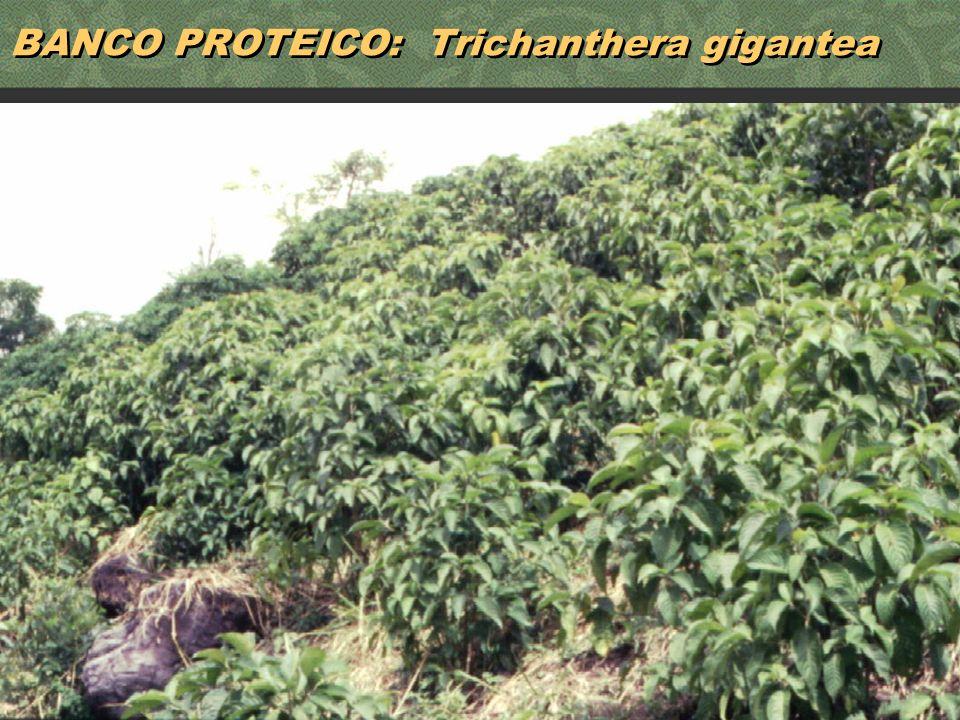 BANCO PROTEICO: Trichanthera gigantea