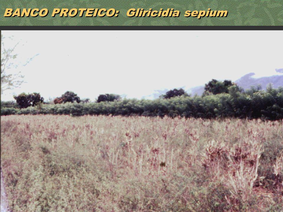 BANCO PROTEICO: Gliricidia sepium