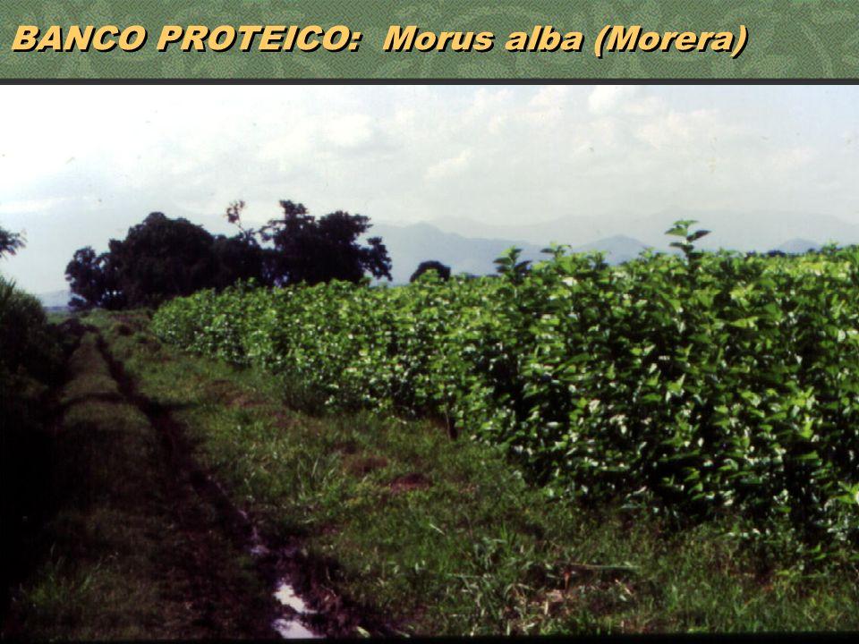BANCO PROTEICO: Morus alba (Morera)