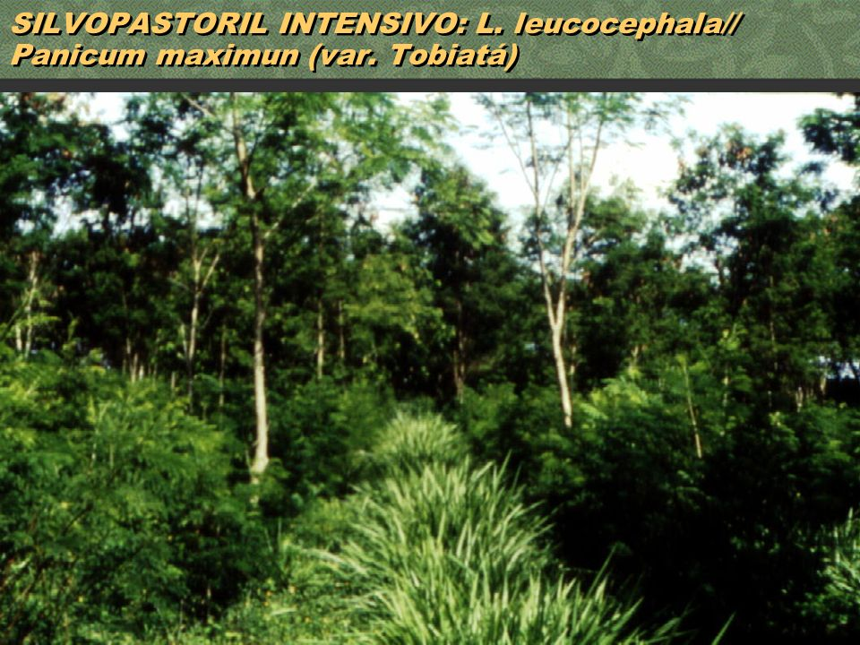 SILVOPASTORIL INTENSIVO: L. leucocephala// Panicum maximun (var