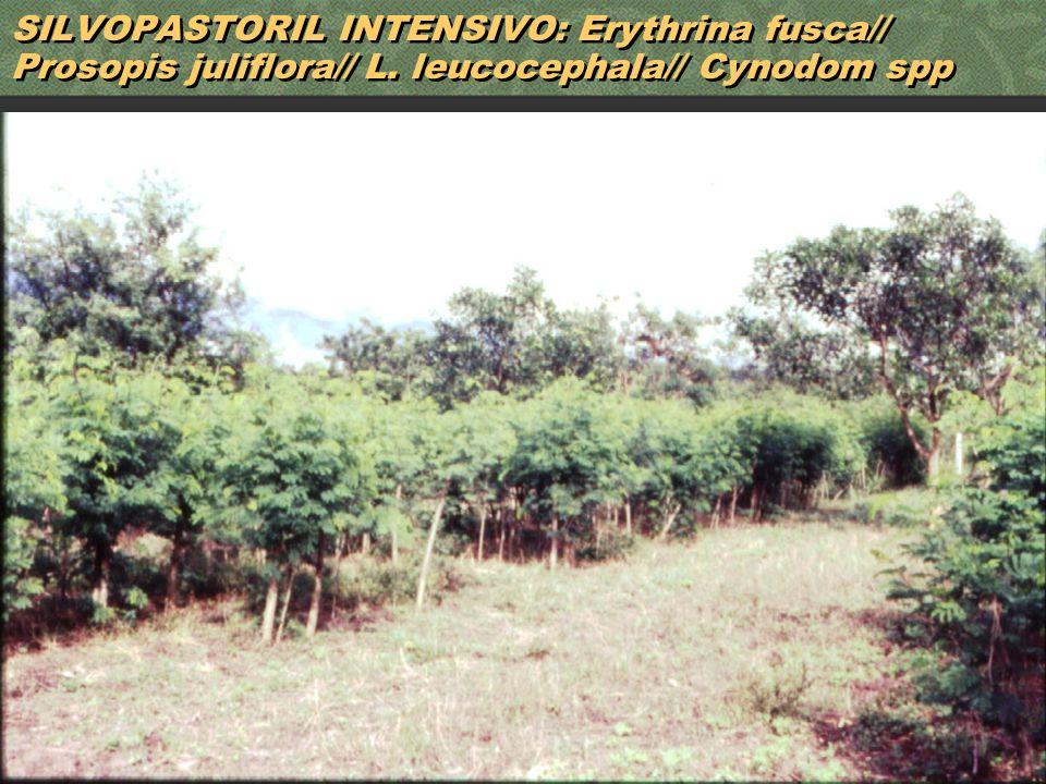 SILVOPASTORIL INTENSIVO: Erythrina fusca// Prosopis juliflora// L