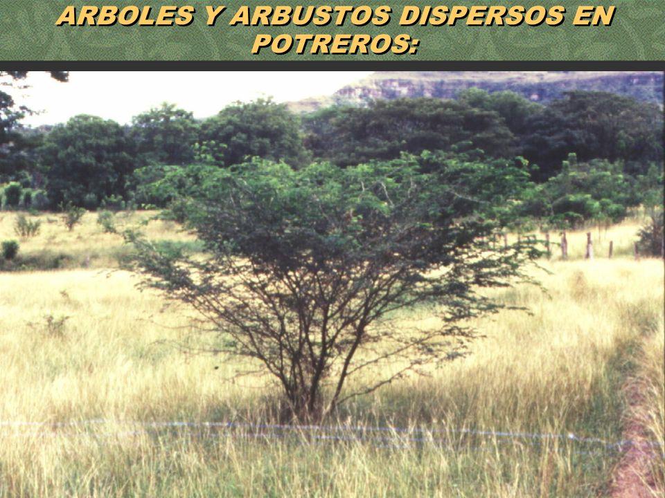 ARBOLES Y ARBUSTOS DISPERSOS EN POTREROS: