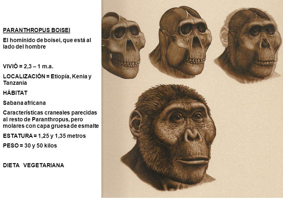 PARANTHROPUS BOISEI El homínido de boisei, que está al lado del hombre. VIVIÓ = 2,3 – 1 m.a. LOCALIZACIÓN = Etiopía, Kenia y Tanzania.