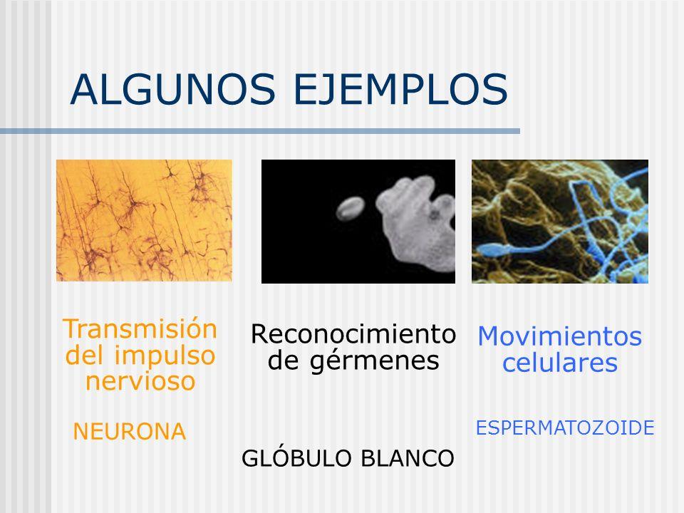 ALGUNOS EJEMPLOS Transmisión del impulso nervioso