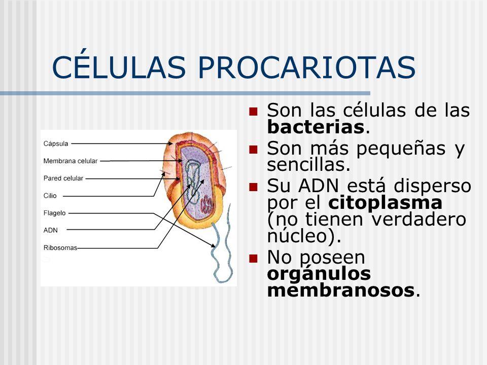 CÉLULAS PROCARIOTAS Son las células de las bacterias.
