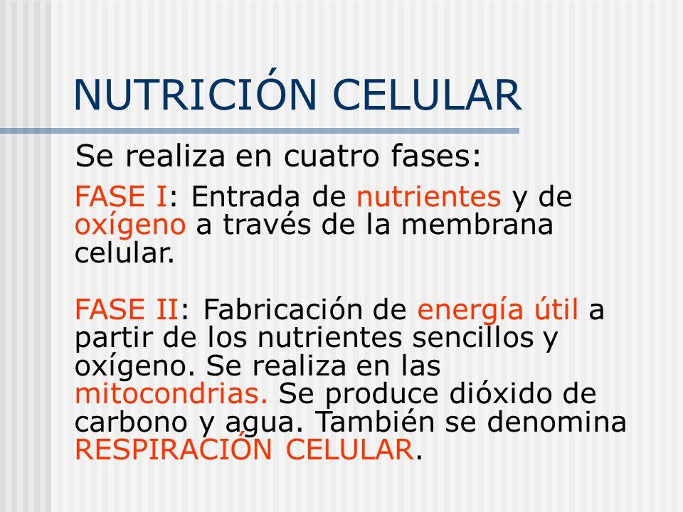 NUTRICIÓN CELULAR Se realiza en cuatro fases: