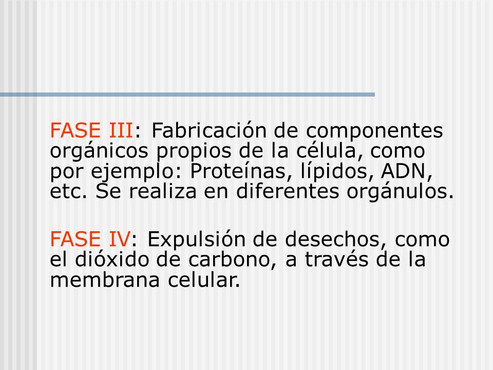 FASE III: Fabricación de componentes orgánicos propios de la célula, como por ejemplo: Proteínas, lípidos, ADN, etc. Se realiza en diferentes orgánulos.