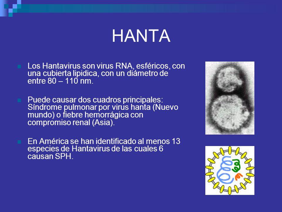 HANTA Los Hantavirus son virus RNA, esféricos, con una cubierta lipidica, con un diámetro de entre 80 – 110 nm.