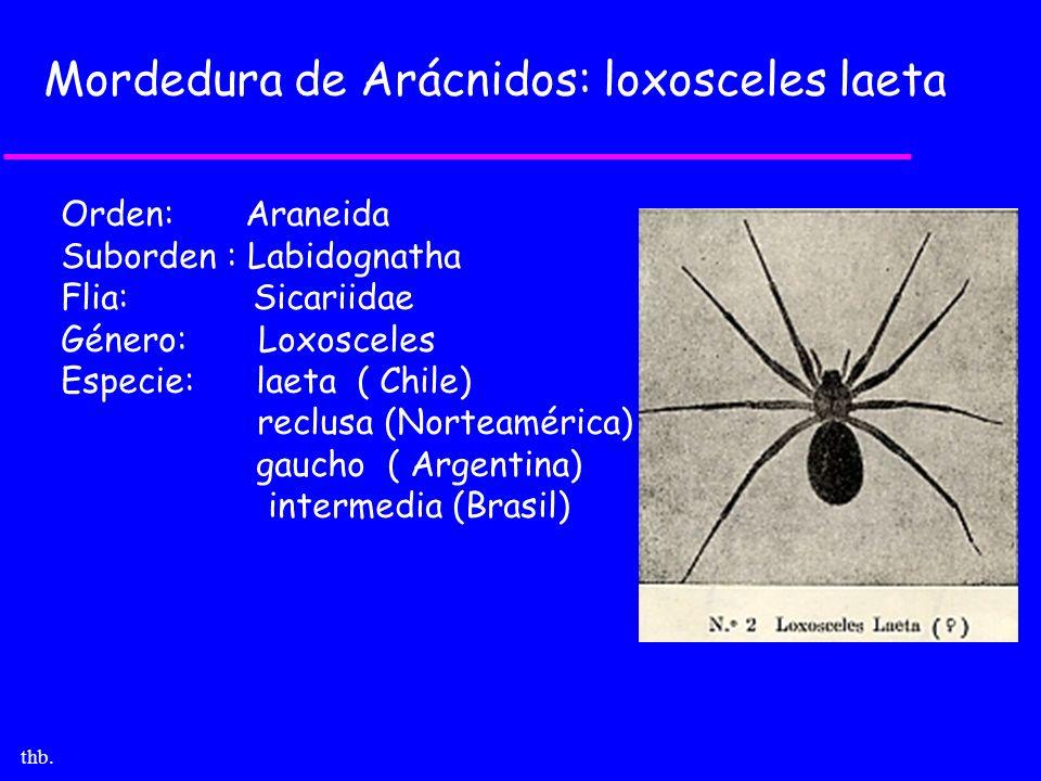Mordedura de Arácnidos: loxosceles laeta