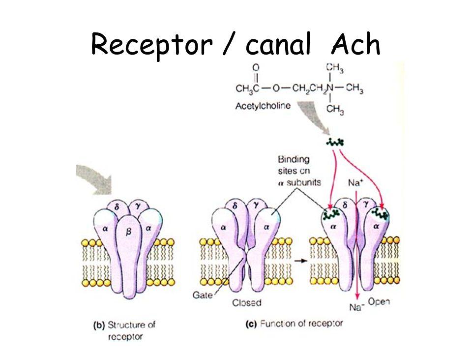 Receptor / canal Ach