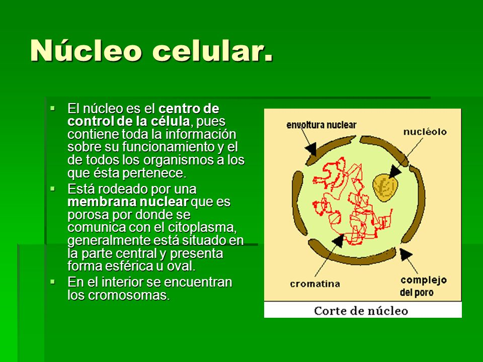 Núcleo celular.