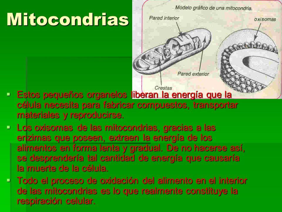 Mitocondrias Estos pequeños organelos liberan la energía que la célula necesita para fabricar compuestos, transportar materiales y reproducirse.