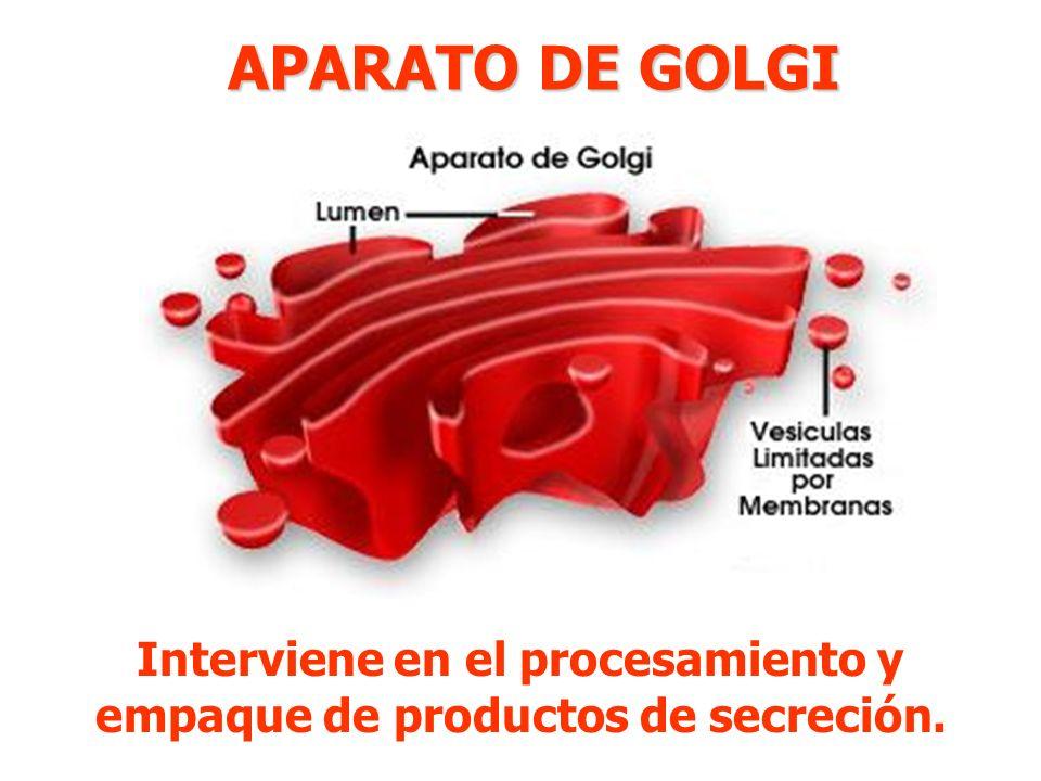 Interviene en el procesamiento y empaque de productos de secreción.