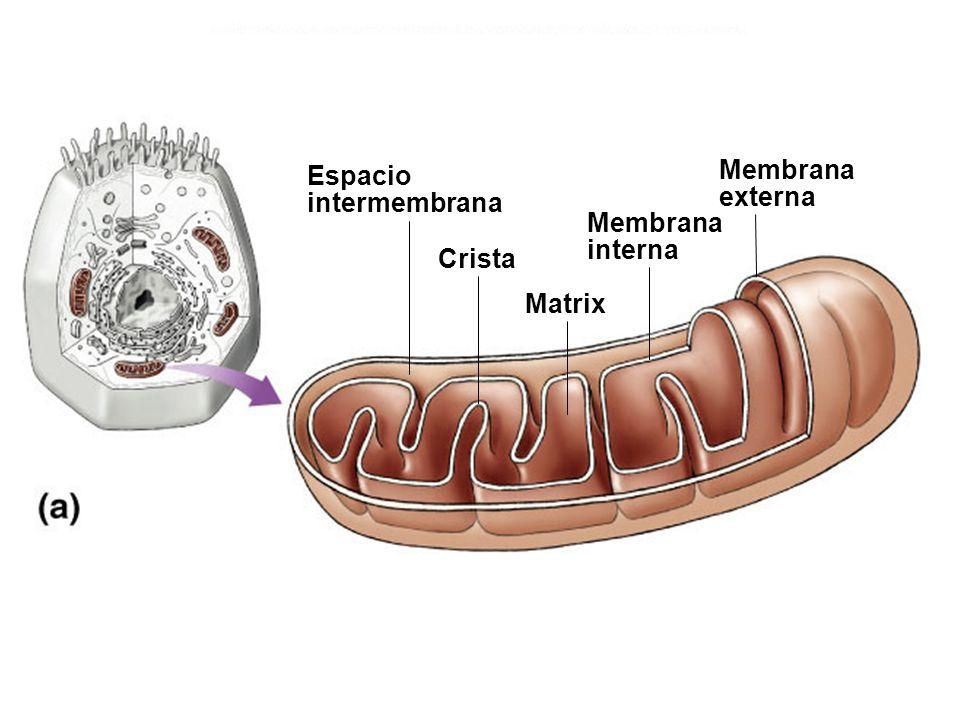 Espacio intermembrana Membrana interna externa Matrix Crista